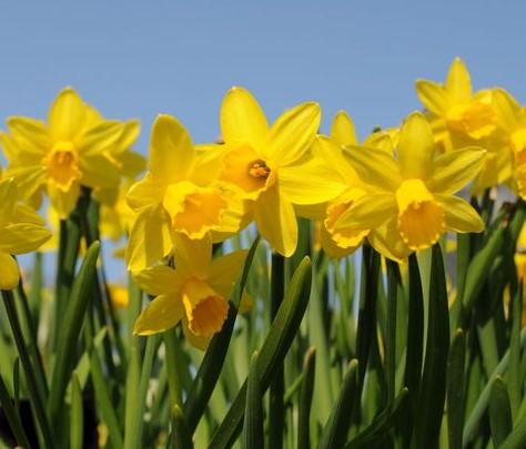 Daffodil Day 2019 Pic
